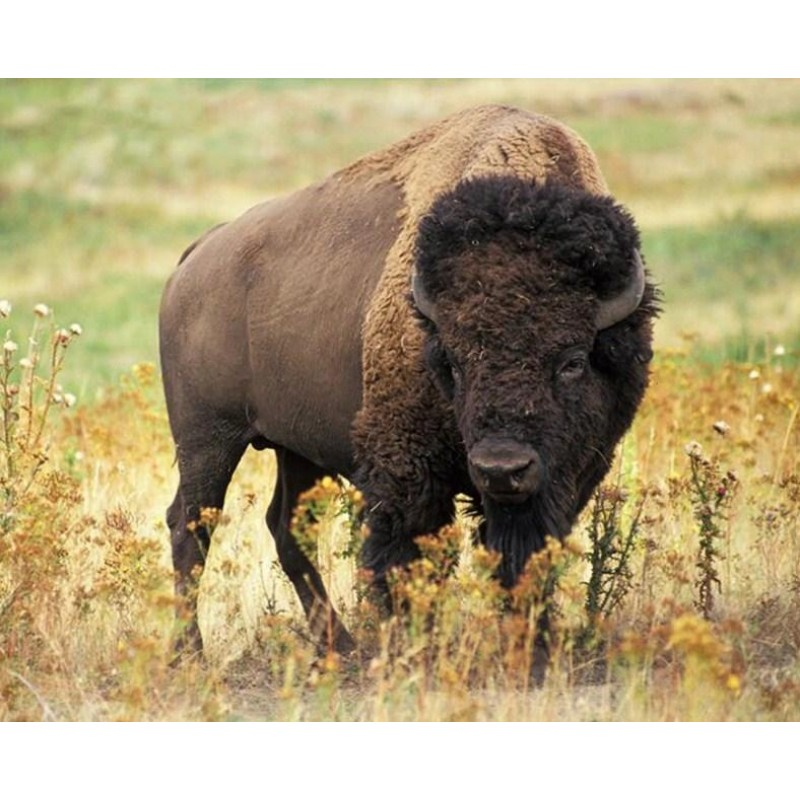 American Bison - Pai...
