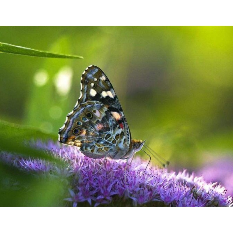 Butterfly Close up P...
